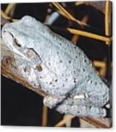Gray Treefrog Canvas Print