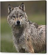 Gray Wolf  North America Canvas Print