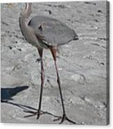 Great Blue Heron On The Beach Canvas Print
