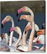 Greater Flamingos, France Canvas Print
