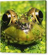 Green Frog Hiding In Duckweed Canvas Print
