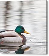 Green-headed Duck Canvas Print