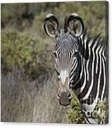 Grevys Zebra Stallion Canvas Print
