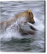 Grizzly Bear Chasing Fish Canvas Print