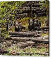 Grizzly Triplets After Rain Canvas Print