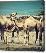 Group Of Camels In Africa Canvas Print