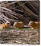 Guinea Pig Livestock At Lake Titicaca Peru Canvas Print