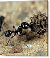 Harvester Ant Canvas Print