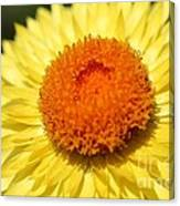 Helichrysum Bracteatum Named Strawburst Yellow Canvas Print