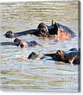 Hippopotamus Group In River. Serengeti. Tanzania Canvas Print
