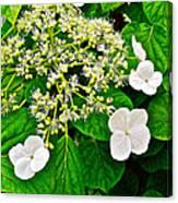 Hobblebush On Mackinac Island-michigan Canvas Print