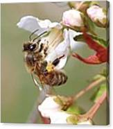 Honeybee On Cherry Blossom Canvas Print