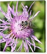 Honeybee On Ironweed Canvas Print