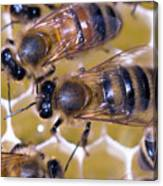 Honeybees On Honeycomb Canvas Print