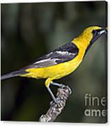 Hooded Oriole Male Canvas Print