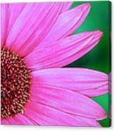 Pink Gerbera Flower Canvas Print