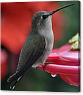 Hummingbird Anna's On Perch Canvas Print