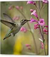 Hummingbird Heaven  Canvas Print