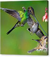 Hummingbirds At Feeder Canvas Print