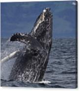 Humpback Whale Breaching Prince William Canvas Print