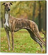Hungarian Greyhound Canvas Print