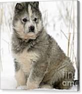 Husky Dog Puppy Canvas Print