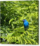Indigo X Lazuli Bunting Hybrid Canvas Print