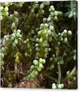 Invasive Seaweed Canvas Print