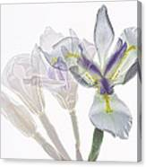 Iris Evolution Canvas Print