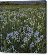Iris Field Canvas Print