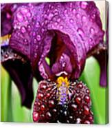 Iris Tongue Canvas Print