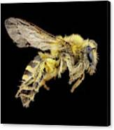 Ivy Bee Canvas Print