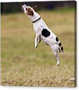 Jack Russell Jumping For Ball Canvas Print