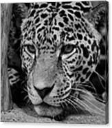 Jaguar In Black And White II Canvas Print