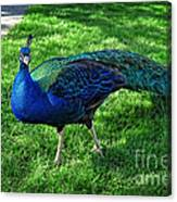 Jimmy The Peacock Canvas Print