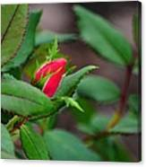 Just A Little Bud Canvas Print