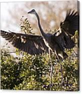 Juvenile Blue Heron Canvas Print