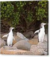 Juvenile Nz Yellow-eyed Penguins Or Hoiho On Shore Canvas Print
