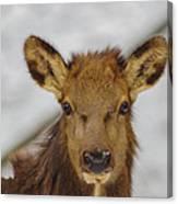 Juvenile Pa. Elk Canvas Print