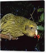 Kakapo Feeding On Supplejack Berries Canvas Print