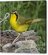 Kentucky Warbler Canvas Print