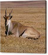 Eland Antelope In Kenya Canvas Print