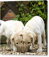 Labrador Puppies Eating Canvas Print