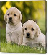 Labrador Puppies Canvas Print