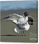 Laughing Gulls Canvas Print