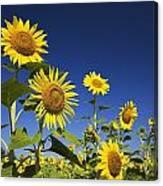 Laval, Quebec, Canada Sunflowers Canvas Print