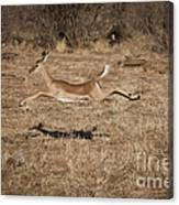 Leaping Impala Canvas Print