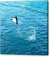 Leaping Stingray Canvas Print