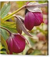 Lenten Roses  Canvas Print