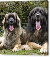 Leonberger Dogs Canvas Print
